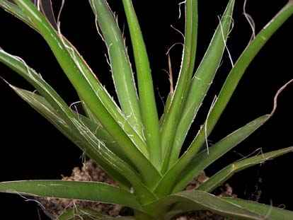 Image of Agave filifera