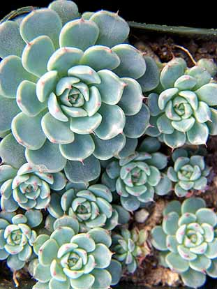 Image of Echeveria minima