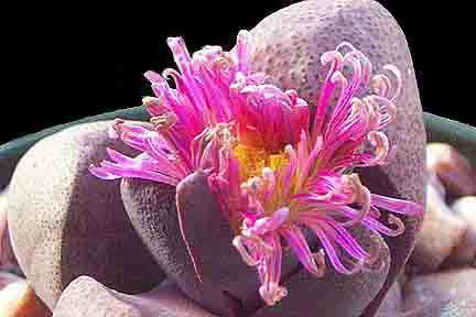 Image of Pleiospilos nellii 'Royal Flush'